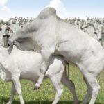 Aspectos Generales del Sistemas de Monta natural en Bovinos