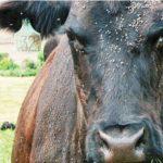Las Moscas de los cuernos en la ganadería