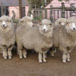 Ecuador Exporta por primera vez Lana de Oveja Hacia Uruguay