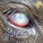 ¿Qué es la Queratoconjuntivitis Infecciosa Bovina?