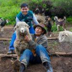 Senasa vacunará a 16.800 animales contra la Brucelosis Caprina