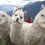 Productores de Alpaca alistan planta de procesamiento de fibra para competir con Inca Tops y Michell & CIA