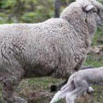 Argentina busca impulsar el Consumo de Carne Ovina