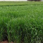 Argentina: Presentan una Cebada diseñada para el pastoreo directo