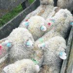 Uso de ethion en ovinos ¿controlaría sarna y piojo?