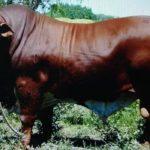 Raza Braford: Rusticidad, Productividad y Rentabilidad para la Producción de carne de Calidad