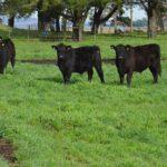 Ganadería: Pautas para Mejorar la Calidad de la Carne