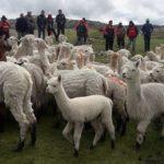 INIA Capacitó a Productores de la Región Huánuco en Manejo Tecnificado de Alpacas