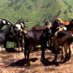 Producción Caprina en el Perú del Siglo XXI - Parte III