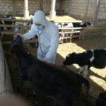 Senasa vacunará a más de 72.000 animales contra el carbunco sintomático en Arequipa