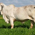 Criterios a Considerar para la Compra de un Toro