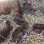 La Liebre: la vaca que parió cuatrillizos en España