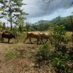 Costa Rica Promueve Arbusto como Suplemento para Alimentar el Ganado en Épocas de Seca
