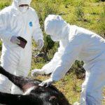 Huaral: Senasa realiza evaluación sanitaria de ganado bovino en Comunidad Campesina de Pasac