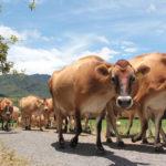 Las Vacas También sienten: ¿Cómo la Crianza influye en la Producción de Leche?
