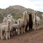 Minagri Protegerá 1 millón y medio de Cabezas de Ganado en 13 regiones Frente a Heladas