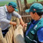 Tumbes: Senasa vacunó a más de 12 mil cerdos contra la Peste Porcina Clásica