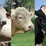 El ICA ajustó los requisitos sanitarios para la entrada de bovinos a la feria Agroexpo 2019