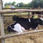 Sembryo: Desarrollo de la tecnología de bipartición embrionaria aplicada a la ganaderia vacuna
