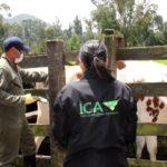 El ICA da recomendaciones para la vacunación contra la fiebre aftosa y la brucelosis bovina