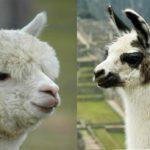 Fijan las cuotas de exportación de alpacas y llamas para el 2019