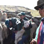 Operación Abrigo del MINAGRI atiende a 700 animales en Huancavelica