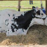 Sembryo: Desarrollo de la tecnología de clonación por transferencia nuclear aplicada a la ganadería vacuna