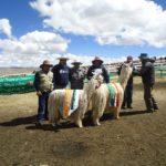 Culminó IV Expoalpaca -Llama Munaypaqocha 2019