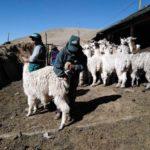 MINAGRI intensifica atención en zonas altoandinas para resguardar actividad alpaquera