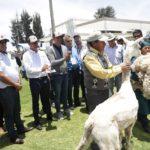 Arequipa celebrará Día Nacional de la Alpaca con pasacalle y foro
