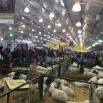 Sector ovino caprino tiene más de  dos millones de ejemplares en Colombia