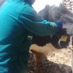 Senasa realizó campaña de prevención contra Carbunco Sintomático en Huaral