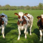 Realizan ensayos a nivel mundial para eliminar el metano en ganaderías