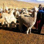 Volcán Ubinas: Minagri inicia atención de 94,900 cabezas de ganado