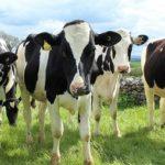 Un nuevo método aumenta la eficiencia en la selección de ganado
