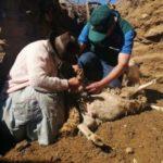 Senasa ejecuta acciones sanitarias para desparasitar a más de 700 animales en Huancavelica