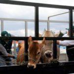 Cajamarca: Senasa resguarda la sanidad del ganado de exhibición en Fongal