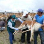 Ayacucho: Senasa refuerza acompañamiento técnico en comunidades de crianza de vicuñas
