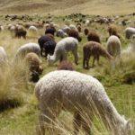 Minagri destina S/38.5 millones para proteger alpacas y ovinos ante heladas