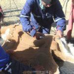 Huancavelica: más de 3,000 visitantes congregó I Festival Chaccu de Vicuñas