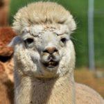Fibra de alpaca: Perú es la primera potencia mundial en su producción