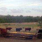 Aprovechar el descarte de cítricos para Alimentar Vacas: Una oportunidad para la suplementación