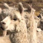Minagri lanzará proyecto de mejoramiento genético de alpacas en el 2020
