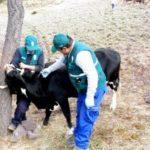 MINAGRI atiende a más de 31 mil animales en campaña contra Carbunco