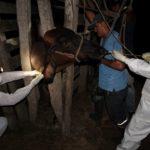 SENASA realizó simulacro de fiebre aftosa en Ucayali