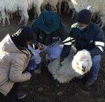 Senasa atendió a más de 4 mil animales en sectores afectados por el proceso eruptivo del volcán Ubinas