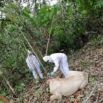 Ucayali: SENASA fortalece medidas sanitarias frente a un brote de rabia silvestre en Atalaya