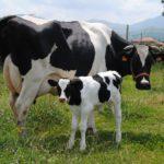 Mejorando la eficiencia alimentaria en ganado lechero