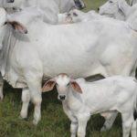 Bienestar animal su rol en la produccion de carne de calidad