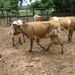 Revelan el origen del ganado criollo de América